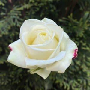 Роза белая Премиум, 80 см